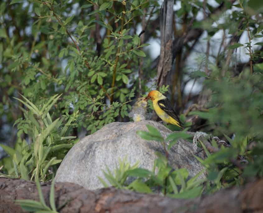 Birdwatching in Canada Western Tanager in Merritt BC Canada