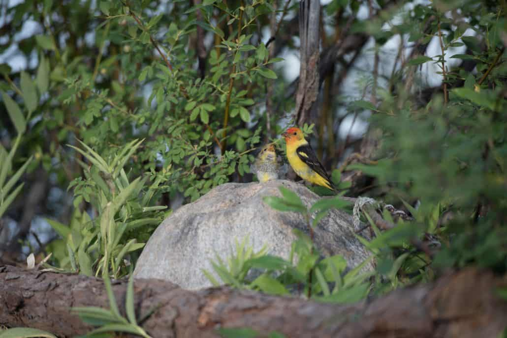 Bird watching in Canada Western Tanager