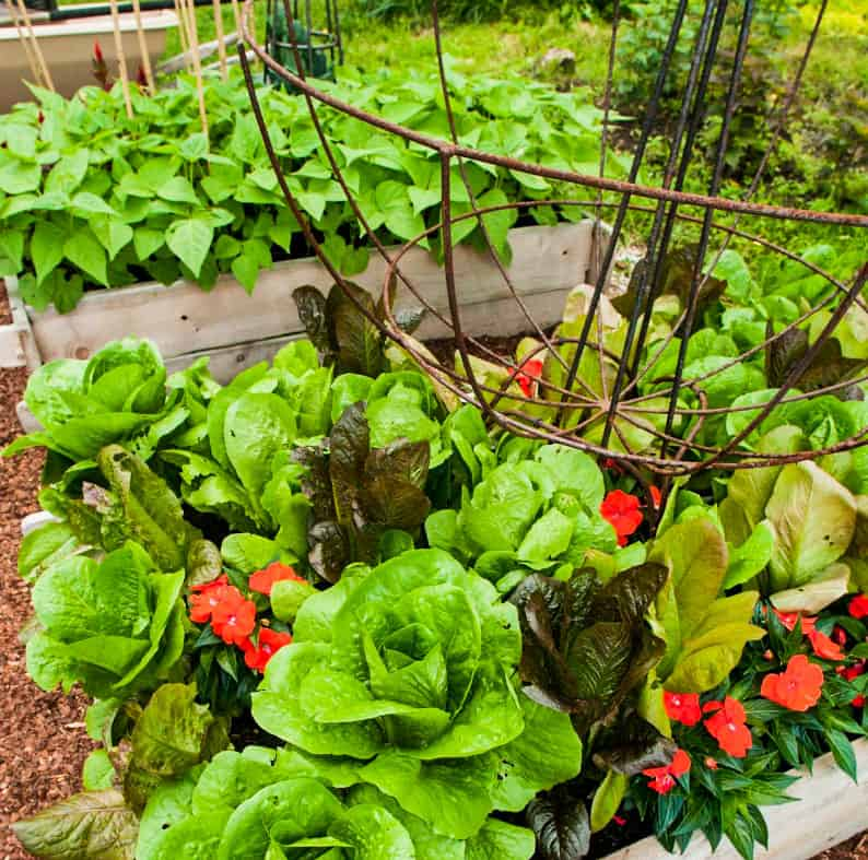vegetables, good food, growing food