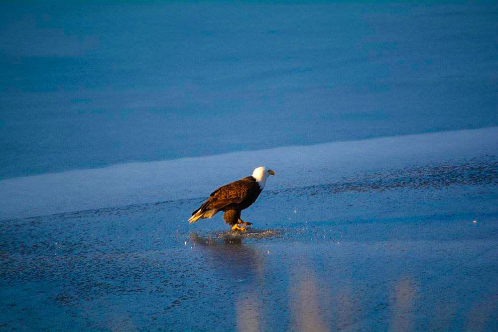 bald eagle ice fishing Nicola Valley
