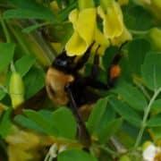 bumble bee, flower, pollen, Merritt, BC
