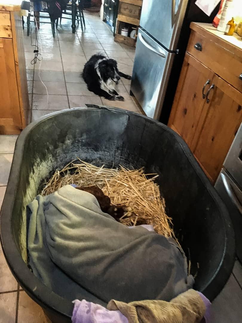 frozen Calf warm kitchen