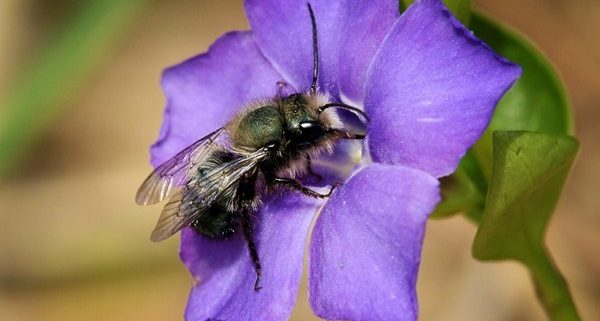 mason bee on flower