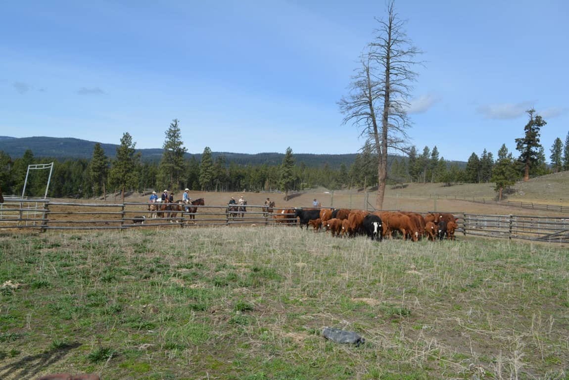 Branding calves in the Nicola Valley