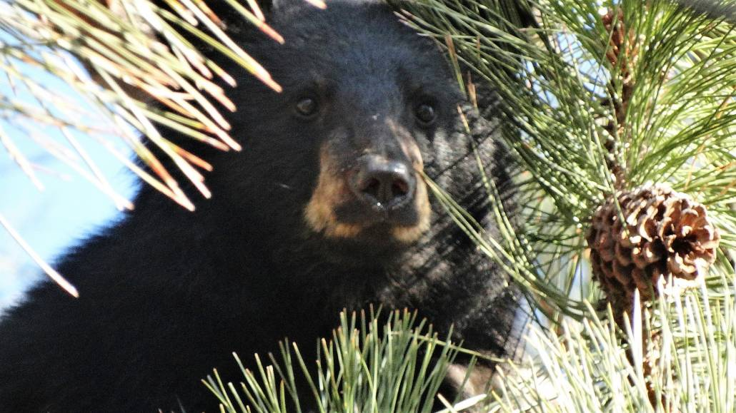 black bear cub saved merritt BC.