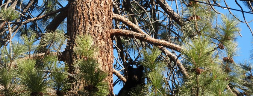 bears in merritt