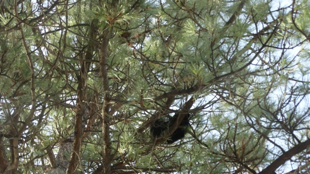 black bear cub merritt bc