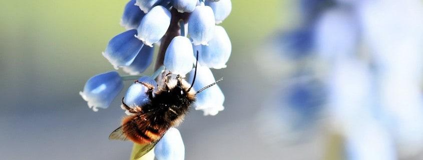 merritt mason bee pollinating