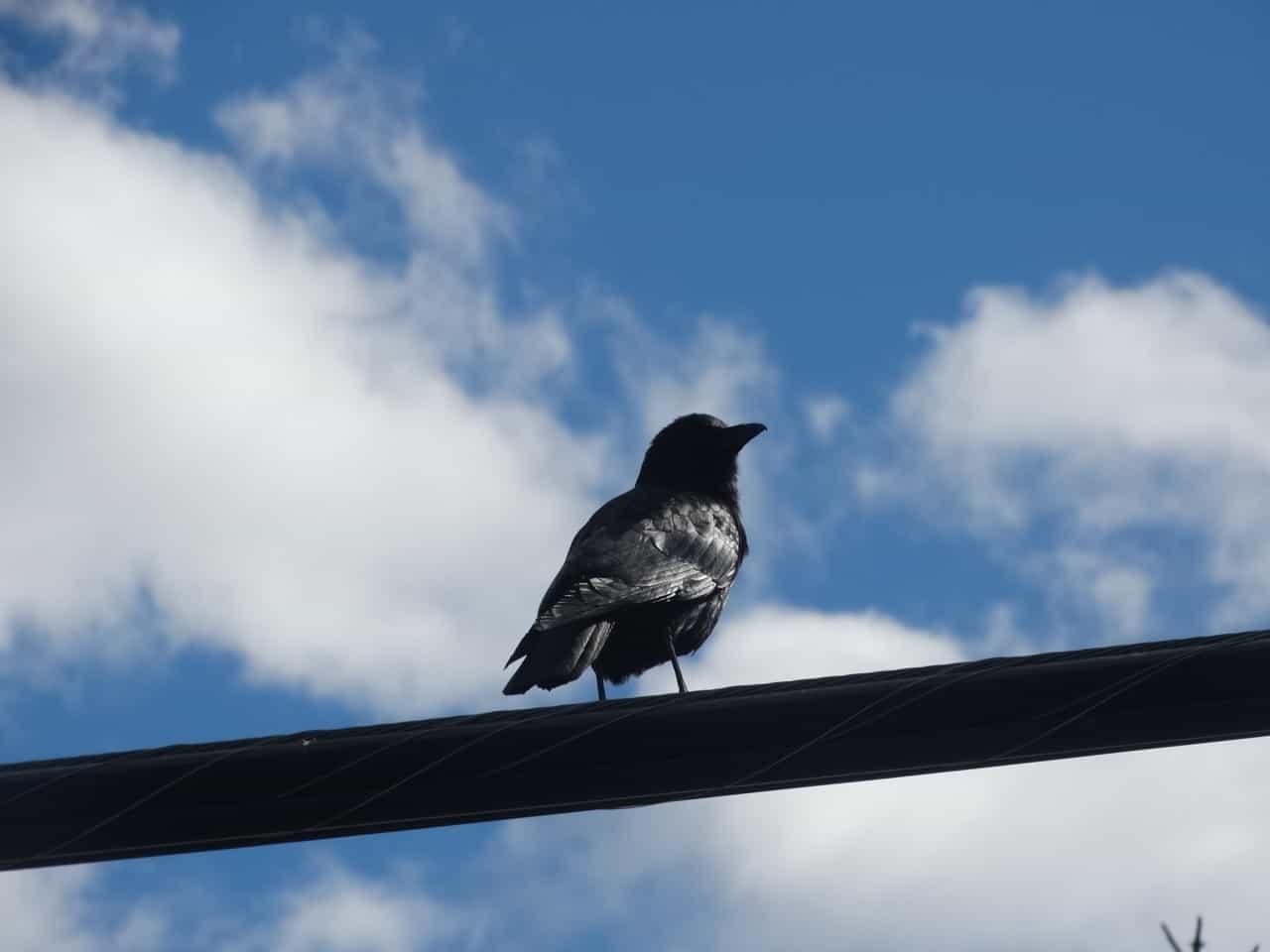 birds of merritt bc canada
