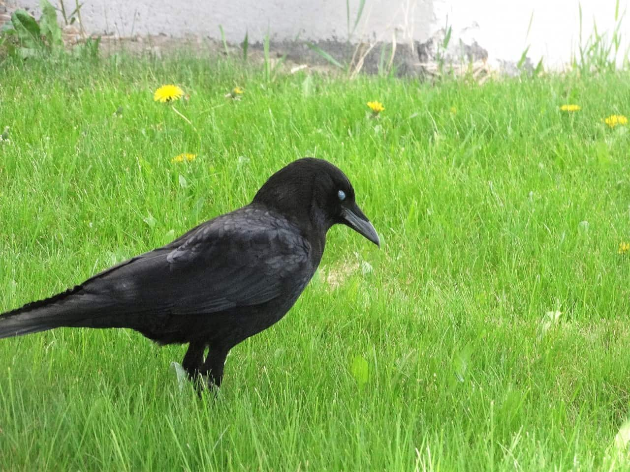 crows are birds too