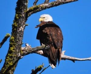 Eagle at Corbett Lake
