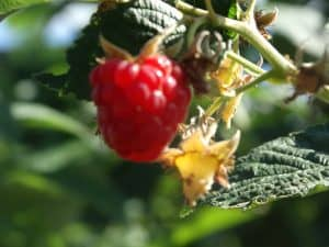 Outdoor Berry Picking Merritt BC.